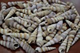 "90+ Pcs Bulk Purple Turritella Sea Shell Craft 2 Pounds 2 1/2"" - 3 1/2"""