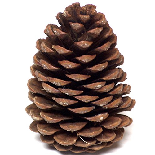 24 New Pinecones 4 to 5 Inch Tall Grown On Ponderosa Pine Trees in Oregon for Unique ()