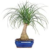 Brussel's Pony Tail Palm Bonsai - Medium - (Indoor)