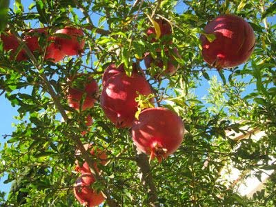 (3 Gallon)''SALAVATSKI'' Also Known as''Russian-Turk'' Pomegranate Shrub - Very Large Fruit Orange-red in Skin, red arils and Sweet/Tart Juice. Extremely Cold Hardy. Easy to Grow