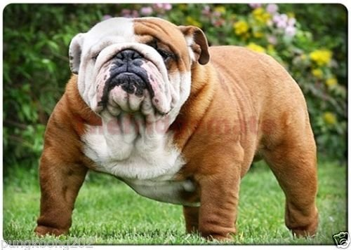 - English Bulldog Puppy nice fridge magnet 3