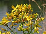 Canvas Print Perforate St John's-Wort Hypericum Perforatum Stretched Canvas 32 x 24