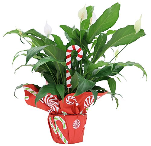 Costa Farms Spathiphyllum, Peace Lily Live Indoor Plant, Decorated with Christmas Gift Wrap and Candy Cane Ornament, 15 to 18-Inches Tall, Great as Holiday Gift or Christmas Decoration