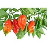 """Ghost Pepper Plant - Two (2) Live Plants - Not Seeds -Each 4""""-7"""" Tall- In 3.5"""" Pots - Ghost Pepper Bhut Jolokia"""