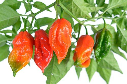 Clovers Garden Ghost Pepper Plants - NON-GMO - Two (2) Live Plants – Not Seeds , Premium Non-GMO , Bhut Jolokia , Not Seeds , ea 3-7