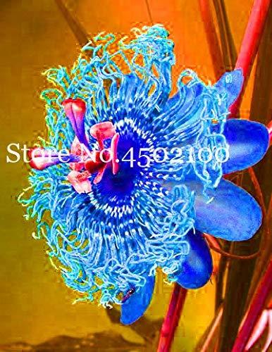 (50 pcs Passion Flower Seeds (Passiflora incarnata), Rainbow Flower Plant Exotic Passion Fruit Passiflora edulis for Home garden0 )