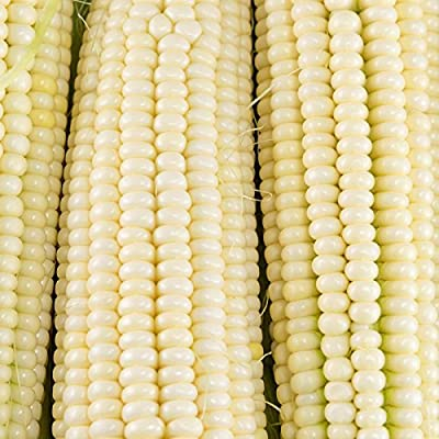 Silver Queen Hybrid Corn Garden Seed (Treated) - Non-GMO White Sweet Corn - Vegetable Gardening Seeds