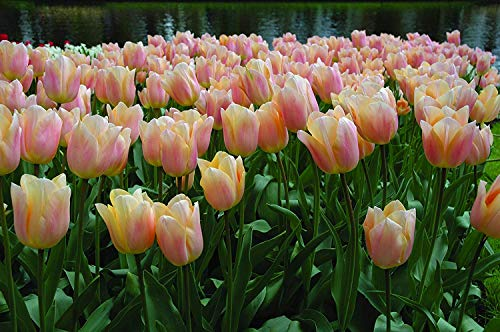 Burpee's Apricot Beauty Tulip - 10 Flower Bulbs | Apricot | 12 - 14cm Diameter by Burpee (Image #4)