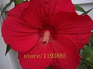 100pcs / Semilla bolsa Dinnerplate Hibiscus / Red Hot / Perenne flor / fácil de cultivar 10-12 pulgadas Flores semillas de flores bonsai / Enormes