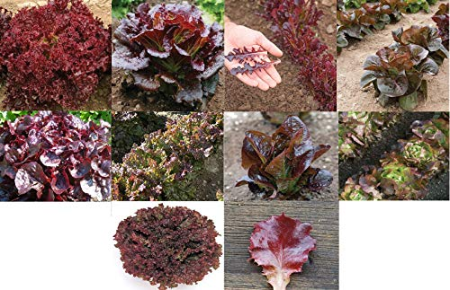David's Garden Seeds Collection Set Lettuce Red Open Polinated LR1746 (Multi) 10 Varieties 3500 Seeds (Non-GMO, Open Pollinated, Organic)