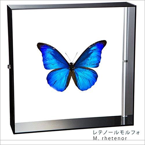 蝶の標本 レテノールモルフォ Morpho rhetenor モルフォチョウ アクリルフレーム 黒 B01MZ8F5TY
