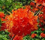 Trade Gallon Pot Mandarin Lights Orange Deciduous Azalea Live Plant Flower Shrub Planting