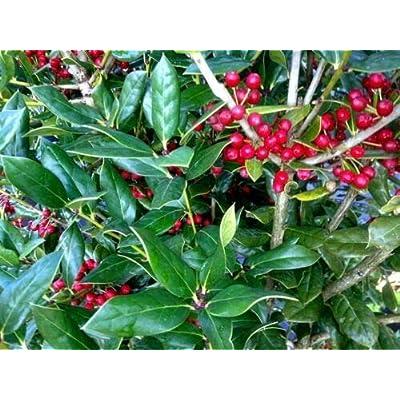 from Grandiosy Farm: Ilex cornuta 'Needlepoint' Holly, Five Plants, Evergreen, Ready to Ship : Garden & Outdoor