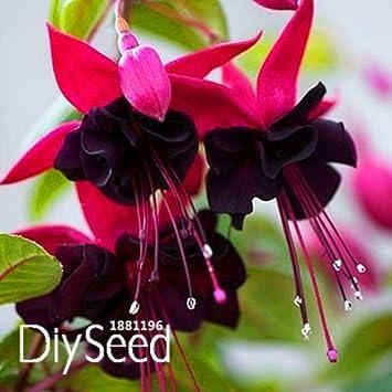 Blumen Rosen Rosen Und Lila Samen Fuchsie. Samen Blumen Topf Pflanzen  Ohrhänger