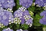 30 seeds of Ageratum 'Hawaii 5.0 Blue'