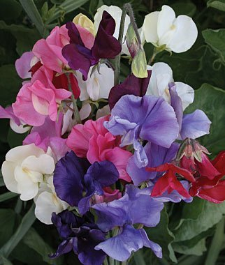 "(ASP)~""DWARF BIJOU MIX"" SWEET PEA~Seeds!!~~~~Perfumed Cuties!"
