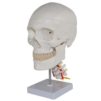 Medizinische menschliche Schädel Modell menschlichen anatomischen ...