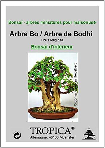 TROPICA - Arbre Bo/Arbre de Bodhi (Ficus religiosa) - 200 graines- Bonsai