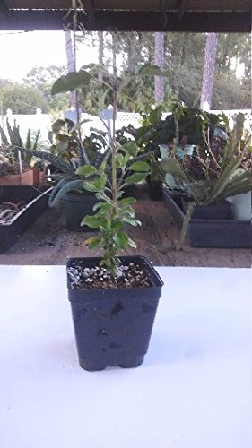 Rama Tulsi, Ocimum Sanctum, 4in Potted Plant, Organic, GMO Free, Tulsi Plants