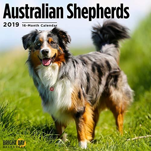 Australian Shepherds 2019 16 Month Wall Calendar 12 x 12 Inches ()