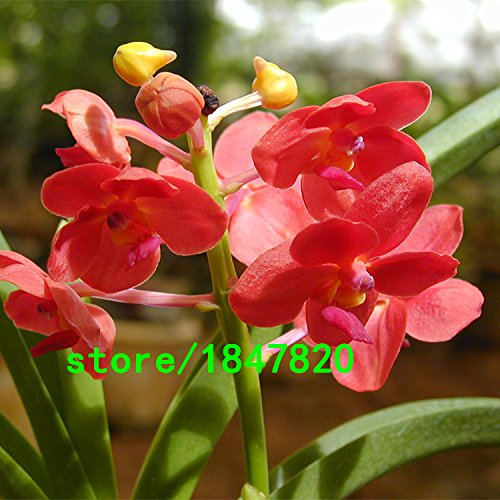 Potted Cymbidium - Unique Pink Cymbidium Seeds Potted Seeds Flower Seeds Cicada Orchid Balcony Plants 100 PCS