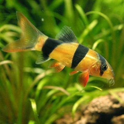 (熱帯魚)クラウンローチ(5匹) 本州・四国限定[生体]