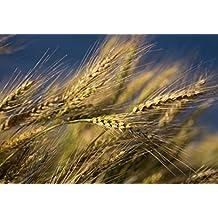 900 Atlantic Barley Garden Seeds