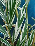 Variegated Strap Leaf Ginger Alpinia Albolineata Vittata Small Starter Plant