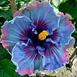 30+ Hibiscus/ Perennial Flower Seed/ Easy to Grow/ Huge 10-12 Inch Flowers/ Fairy Dust