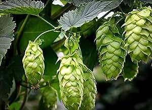 2 Starter Plants of Cascade Hops Tree in Gallon Pot