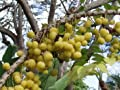 Otaheite Gooseberry Seeds (Phyllanthus acidus) 4+ Rare Seeds + FREE Bonus 6 Variety Seed Pack - a $29.95 Value! Packed in FROZEN SEED CAPSULES for Growing Seeds Now or Saving Seeds For Years