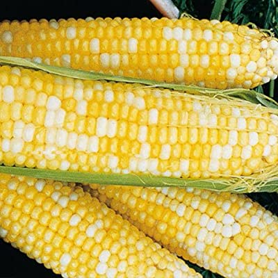Honey N' Cream Corn 75 Seeds #0601 Item Upc#650348691929