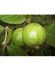Guayaba tropical exótica fructificación perenne ornamental del árbol frutal - 10 Semillas