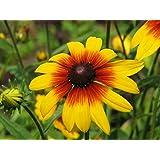 Perennial: GLORIOSA DAISY Mixed 60+ Seeds - Rudbeckia hirta - 7 Color Mix, Cut Flower, High Germination, Fresh Seed, Very Easy To Grow
