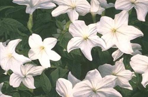 Browallia Bells Series Silver Annual
