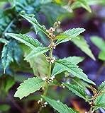 20 WATER HOREHOUND Lycopus Americanus American Bugleweed Herb Flower Seeds