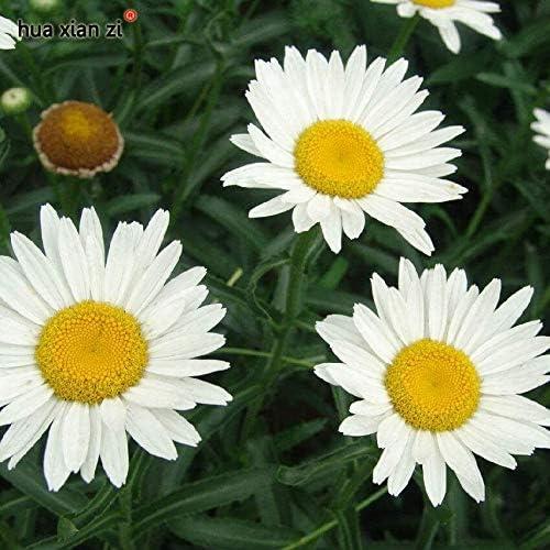 30 Semillas/Bolsa Semillas de Margarita Blanca Crisantemo Paludosum Semillas Flor Bonsai Planta Para Jardín: Amazon.es: Jardín