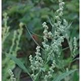 Herb Seeds - Goosefoot White - 400 Seeds