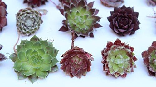 Rainforest Rose 25 Sempervivum cuttings Hens and Chicks 25 unique varieties PLUS Succulent Garden Magnet WHOLESALE Cactus Succulents Plants