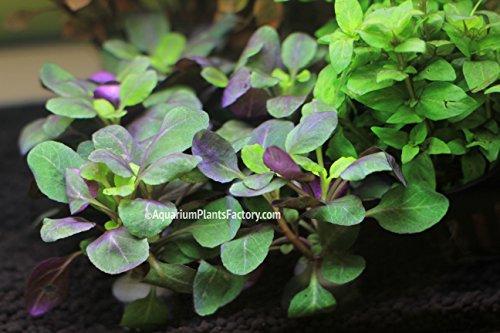 aquariumplantsfactorytm-lobelia-cardinalis-foreground-carpet-freshwater-live-aquarium-plants-buy2get