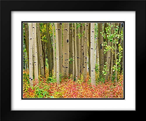 Aspen Trees and Fireweed, Collegiate Peaks Wilderness Area, Colorado 24x20 Black Modern Frame and Double Matted Art Print by Fitzharris, Tim