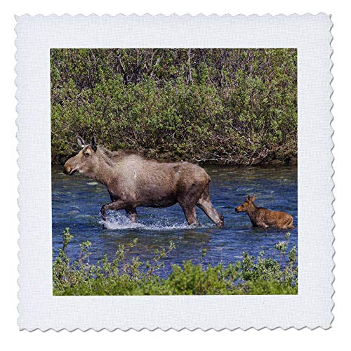 3dRose Danita Delimont - Moose - Alaskan Cow Moose with Young Calf - 22x22 inch quilt square (qs_314504_9) ()