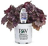 Dolce Blackberry Ice Coral Bells (Heuchera) Live Plant, Purple-Black Foliage, 0.65 Gallon