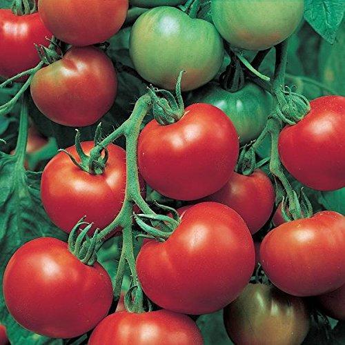 Super Sioux Tomato Seeds - 10+ Non-GMO Organic Heirloom Tomato Seeds (Super Sioux Tomato)