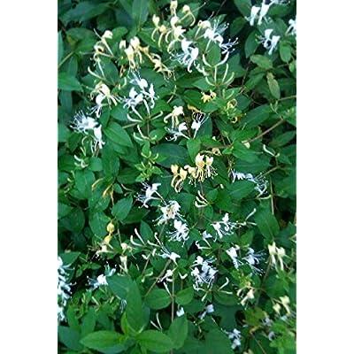 Hummingbird Honeysuckl Vine Cutting 1 Pcs an : Garden & Outdoor