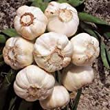 GARLIC BULB (10 Pack), FRESH CALIFORNIA SOFTNECK GARLIC BULB FOR PLANTING AND GROWING YOUR OWN GARLIC