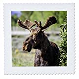 3dRose Mike Swindle Photography - Animals - Moose looking - 25x25 inch quilt square (qs_280209_10)