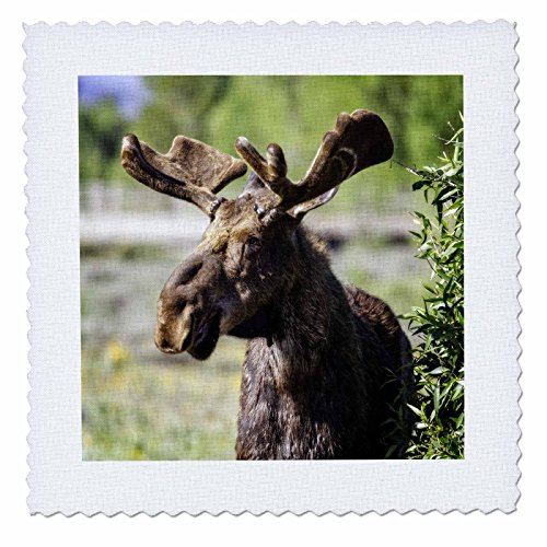 3dRose Mike Swindle Photography - Animals - Moose looking - 25x25 inch quilt square (qs_280209_10) by 3dRose