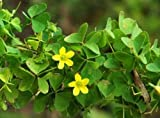 Wood Sorrel ★ Oxalis Family ★ Zesty, Lemony Flavor ★ theseedhouse ★ 50+ Seeds