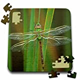 Danita Delimont - Insects - USA, Georgia. Green darner dragonfly on reeds - 10x10 Inch Puzzle (pzl_230557_2)